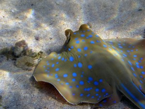 blue-spotted-stingrays-1043491