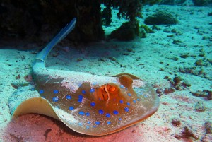 blue-spotted-stingrays-380035