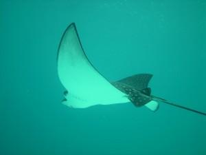 eagle-rays-386619